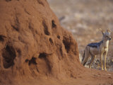 Black-Backed Jackal, Canis Mesomelas, Next to a Termite Mound Samburu, Kenya, Africa Photographie par Joe McDonald