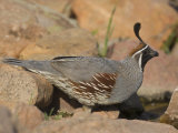Gambel's Quail (Callipepla Gambelii) Male Photographic Print by Jack Michanowski