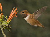 Rufous Hummingbird Male (Selasphorus Rufus) Feeding at Justicia Spicigera, Arizona, USA Photographic Print by Charles Melton