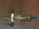 Northern Pintail Drake Swimming, Anas Acuta, North America Photographic Print by Arthur Morris