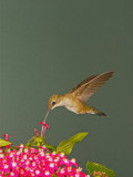 Black-Chinned Hummingbird Photographic Print by Jack Michanowski