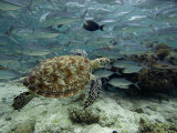 Green Sea Turtle (Chelonia Mydas) Swimming Among Schooling Jacks, Malaysia Fotografie-Druck von David Fleetham