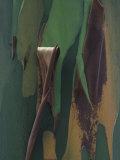 Close-Up of Rainbow Eucalyptus Tree Bark, Eucalyptus Deglupta, Australia Fotografie-Druck von Gustav W. Verderber