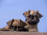 Brussels Griffon Variety of Domestic Dog Photographic Print by Cheryl Ertelt