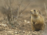 Gunnison's Prairie Dog, Cynomys Gunnisoni, a Threatened Species, Bryce National Park, Utah, USA Photographic Print by Joe McDonald