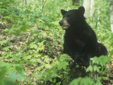 Black Bear in a Deciduous Forest (Ursus Americanus), Eastern USA Photographic Print by Steve Maslowski