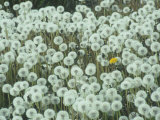 Dandelion Seed Heads and One Remaining Flower, Taraxacum Officinale, North America Lámina fotográfica por Ernest Manewal