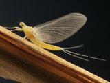 Mayfly Sub-Adult Female (Probably Ephemerella Dorothea) Photographic Print by Thomas Ames Jr.