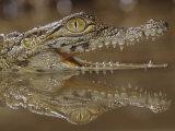 Young Nile Crocodile Showing its Eye and Teeth, Crocodylus Niloticus, . East and Central Africa Impressão fotográfica por Joe McDonald