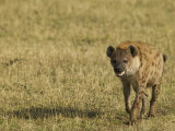Spotted Hyena on the Savanna, Crocuta Crocuta, East Africa Photographic Print by Joe McDonald