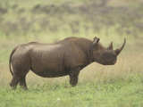 Black Rhinoceros on the Ssvanna, Diceros Bicornis, Kenya, Africa Photographic Print by Adam Jones