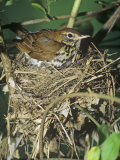 Female Wood Thrush (Hylocichla Mustelina) Brooding Eggs on Her Nest, North America Photographie par Steve Maslowski