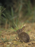 Baby Cottontail Rabbit, Sylvilagus Floridanus, with Tick Parasites, Eastern USA Photographic Print by Gary Carter