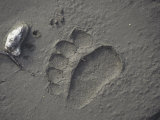 Grizzly Bear (Ursus Arctos) Track in Mud, Alaska, USA Photographic Print by Tom Walker