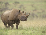 Black Rhinoceros, Diceros Bicornis, an Endangered Species, Nairobi National Park, Kenya, Africa Photographic Print by Adam Jones