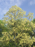Black Locust Tree, Robinia Pseudoacacia, in Full Bloom, USA Photographic Print by Adam Jones
