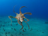 Day Octopus Swimming (Octopus Cyanea), Hawaii Photographic Print by David Fleetham