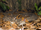Gaboon Viper (Bitis Gabonica), Gabon, West Africa Photographic Print by Reinhard Dirscherl