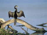 Anhinga (Anhinga Anhinga) Drying its Wings, Ding Darling National Wildlife Refuge, Florida, USA Photographic Print by Adam Jones