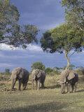 African Elephants, Loxodonta Africana, Masai Mara Game Reserve, Kenya, Africa Photographic Print by Gerald & Buff Corsi