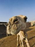 Camel at Camel Market, Cairo, Egypt Photographic Print by Adam Jones