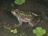 Rio Grande Leopard Frog (Rana Berlandieri), Texas Photographic Print by Charles Melton