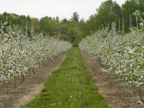 Young Apple Orchard Blooming in the Spring Photographic Print