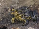 River Frog, Rana Heckscheri, Florida, USA Photographic Print by Joe McDonald