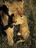 African Lion Female Carrying Her Cub in Her Mouth, Panthera Leo Photographic Print by Joe McDonald
