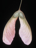 Silver Maple Tree Winged Seed or Samara, Acer Saccharinum, North America Photographic Print by Jerome Wexler