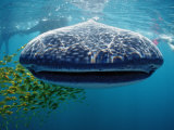 Whale Shark, Rhincodon Thypus, Usa, Haiwaii, Pacific Ocean Photographic Print by Reinhard Dirscherl