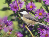 Carolina Chickadee (Poecile Carolinensis) in New England Asters, North America Photographic Print by Steve Maslowski