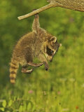 Common Raccoon (Procyon Lotor).Juvenile Photographie par Jack Michanowski