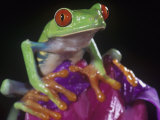 Red-Eyed Treefrog, Agalychnis Callidryas, Central America Photographic Print by Joe McDonald