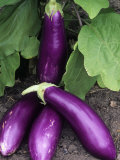 Eggplant 'Neon' Photographic Print by Wally Eberhart
