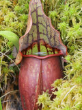 Pitcher Plant (Sarracenia) Carnivorous Plant Growing in a Sphagnum Moss Bog Photographic Print by Robert Servrancky