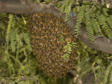 Honey Bee (Apis Mellifera) Swarm in a Mesquite Tree, Sonoran Desert, Arizona, USA Photographic Print by Charles Melton