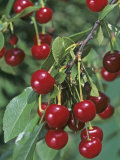 Pie Cherries on the Tree, &#39;Northstar&#39;, (Prunus Cerasus). Photographic Print by Wally Eberhart