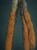 Underwater View of Mangrove Prop Roots with Button Tunicates (Distaplia Corolla), Belize, Caribbean Photographic Print by James Beveridge