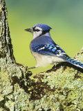 Blue Jay (Cyanocitta Cristata), North America Photographie par Steve Maslowski