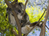 Koala Resting in a Tree (Phascolarctos Cinereus), Australia Photographic Print by David Fleetham