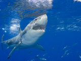 Great White Shark (Carcharodon Carcharias), Guadalupe Island, Mexico Lmina fotogrfica por David Fleetham