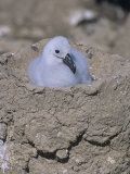 Black-Browed Albatross Chick in its Nest, Diomedea Melanophris, Falkland Islands Photographic Print by Gerald & Buff Corsi