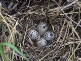 Wilson's Phalarope Nest with Eggs (Phalaropus Tricolor), North America Fotografisk trykk av Steve Maslowski