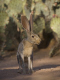Black-Tailed Jackrabbit Photographic Print by Jack Michanowski
