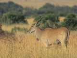 Eland on the Savanna, Taurotragus Oryx, East Africa Lmina fotogrfica por John & Barbara Gerlach