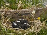 Striped Skunk Babies in their Nest, Mephitis Mephitis, North America Photographic Print by Jack Michanowski