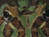 Face of the Argentine Horned Frog, Ceratophrys Ornata, Brazil Photographic Print by Joe McDonald