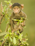 Olive Baboon Baby, Papio Anubis, East Africa Photographic Print by Joe McDonald