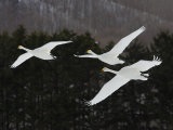 Whooper Swans Flying, Olor Cygnus Photographic Print by John Cornell